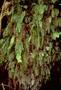 Hymenophyllaceae - Hymenophyllum pallidum