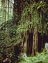 Lomariopsidaceae - Nephrolepis acutifolia