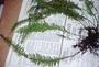 Polypodiaceae - Prosaptia contigua