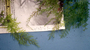 Hymenophyllaceae - Hymenophyllum polyanthos