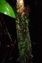 Hymenophyllaceae - Crepidomanes minutum