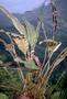 Dryopteridaceae - Elaphoglossum tovii