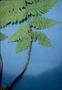 Athyriaceae - Deparia petersenii