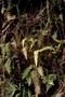 Woodsiaceae - Deparia timetensis