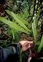 Oleandraceae - Oleandra sibbaldii