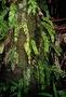 Psilotaceae - Tmesipteris gracilis