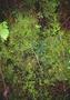 Selaginellaceae - Selaginella laxa