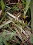 Asteliaceae - Astelia tovii