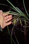 Cyperaceae - Carex feani