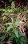 Orchidaceae - Habenaria tahitensis