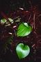 Orchidaceae - Liparis clypeolum