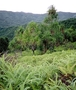 Pandanaceae - Pandanus tectorius