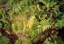 Lycopodiaceae - Lycopodium henryanum