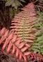 Blechnaceae - Blechnum vulcanicum