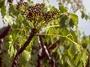 Araliaceae - Cheirodendron bastardianum