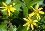 Asteraceae - Bidens bipontina