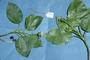 Asteraceae - Oparanthus teikiteetinii