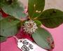 Asteraceae - Oparanthus woodii
