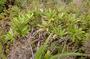 Campanulaceae - Apetahia longistigmata
