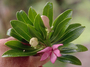 Campanulaceae - Apetahia seigelii