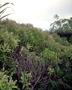 Cunoniaceae - Weinmannia marquesana var. angustifolia