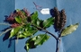 Cunoniaceae - Weinmannia marquesana var. marquesana