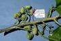 Euphorbiaceae - Claoxylon ooumuense