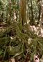 Fabaceae - Inocarpus fagifer