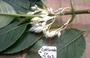 Gesneriaceae - Cyrtandra ootensis