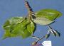 Gesneriaceae - Cyrtandra feaniana