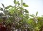 Gesneriaceae - Cyrtandra nukuhivensis