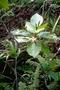 Gesneriaceae - Cyrtandra thibaultii