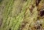 Loganiaceae - Geniostoma gagneae