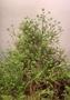 Loganiaceae - Geniostoma hallei