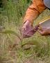 Melastomataceae - Miconia calvescens