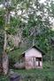 Moraceae - Artocarpus altilis