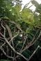 Primulaceae - Myrsine tahuatensis