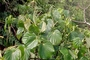 Piperaceae - Macropiper latifolium
