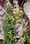Piperaceae - Peperomia blanda var. floribunda