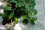 Piperaceae - Peperomia pallida