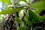 Rubiaceae - Coprosma reticulata