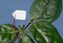 Rubiaceae - Cyclophyllum barbatum