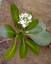 Rubiaceae - Psychotria florencei