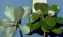Rubiaceae - Psychotria marchionica