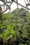 Rubiaceae - Psychotria toviana