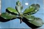 Rubiaceae - Psychotria taupotinii