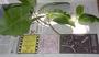 Rutaceae - Melicope inopinata