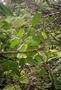 Rutaceae - Melicope revoluta