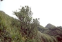 Rutaceae - Melicope tekaoensis