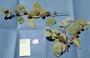 Malvaceae - Waltheria tomentosa